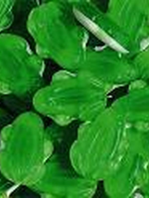 Kikkers Groen-Wit Haribo 1kg
